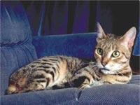 Esta imagen tiene un atributo ALT vacío; su nombre de archivo es razas_comp_california-spangled-cat-_2.jpg