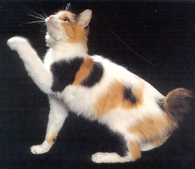 Esta imagen tiene un atributo ALT vacío; su nombre de archivo es razas_comp_dd_bobtail1.jpg